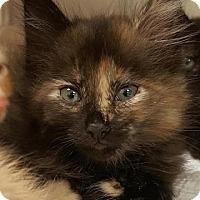 Domestic Mediumhair Cat for adoption in Satellite Beach, Florida - Jubilee