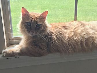 Domestic Mediumhair Cat for adoption in Baton Rouge, Louisiana - Flo
