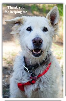 Golden Retriever Dog for adoption in Sacramento, California - Buttermilk needs love