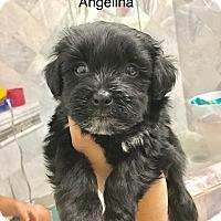 Adopt A Pet :: Angelina - Brea, CA