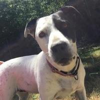 Labrador Retriever/American Pit Bull Terrier Mix Dog for adoption in Eugene, Oregon - Tasha