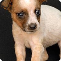Australian Cattle Dog Mix Puppy for adoption in Newland, North Carolina - Fanta