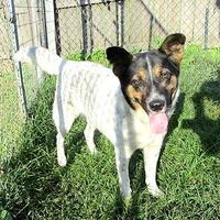 Australian Cattle Dog Mix Dog for adoption in Fayetteville, Tennessee - Ali
