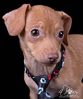 Dachshund/Chihuahua Mix Puppy for adoption in Lodi, California - Nemo