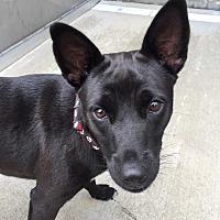 Adopt A Pet :: Bella - Wilmington, DE