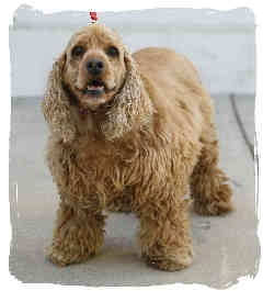 Cocker Spaniel Dog for adoption in San Diego, California - Sandy
