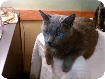 Domestic Shorthair Cat for adoption in Erie, Pennsylvania - Noah