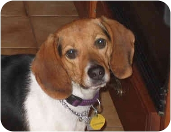 Beagle Mix Dog for adoption in Blairstown, New Jersey - Shirley