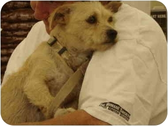 Cairn Terrier Mix Dog for adoption in Clinton, Missouri - Sandy