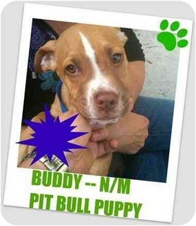 Pit Bull Terrier Mix Puppy for adoption in Hollywood, Florida - BUDDY