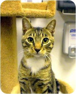 Domestic Shorthair Cat for adoption in Encinitas, California - Davidson