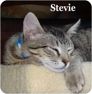 Domestic Shorthair Kitten for adoption in Bentonville, Arkansas - Stevie