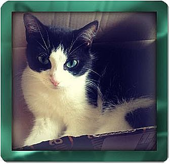 Domestic Shorthair Cat for adoption in Laconia, Indiana - Marci