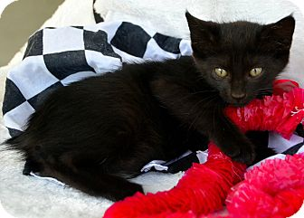 Manx Kitten for adoption in Baton Rouge, Louisiana - Yoda