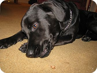 Labrador Retriever/Flat-Coated Retriever Mix Puppy for adoption in Painesville, Ohio - Harley