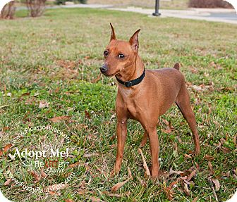 Miniature Pinscher Dog for adoption in Myersville, Maryland - Merv