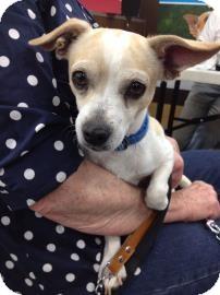 Chihuahua Mix Dog for adoption in Tucson, Arizona - Rosco
