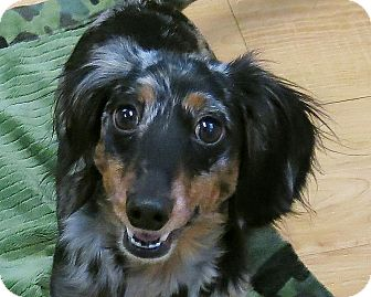 Dachshund Dog for adoption in High Point, North Carolina - Dewey