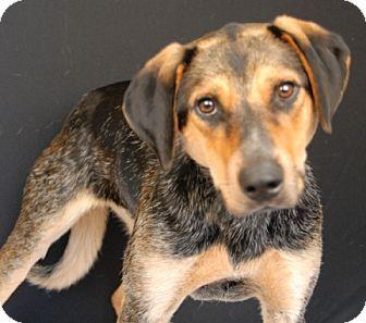 Australian Cattle Dog/Blue Heeler Mix Dog for adoption in Newland, North Carolina - Cooper