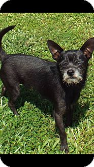 Wirehaired Fox Terrier/Chihuahua Mix Dog for adoption in Apex, North Carolina - Biscuit