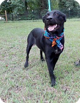 Labrador Retriever/Shepherd (Unknown Type) Mix Dog for adoption in Conroe, Texas - Lizzie