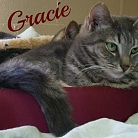 Domestic Shorthair Cat for adoption in Ocean View, New Jersey - Gracie