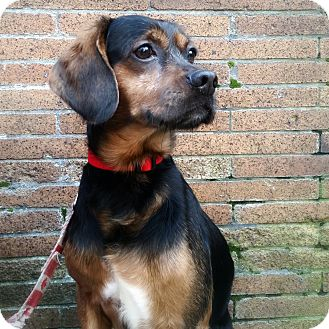 Beagle Mix Dog for adoption in Sagaponack, New York - Tiger