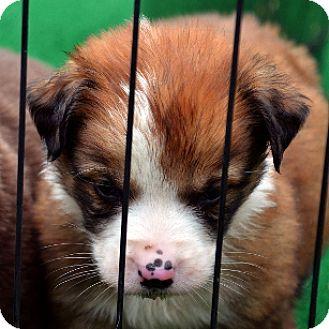 Border Collie Mix Puppy for adoption in Garland, Texas - Garfunkel