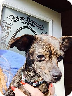 Chihuahua Mix Dog for adoption in Grand Rapids, Michigan - Brindle