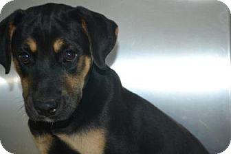 Rottweiler/Labrador Retriever Mix Puppy for adoption in Edwardsville, Illinois - Joey