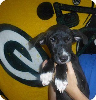 Border Collie/Labrador Retriever Mix Puppy for adoption in Oviedo, Florida - Allie
