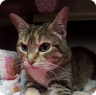 Domestic Shorthair Cat for adoption in Wheaton, Illinois - Dakota