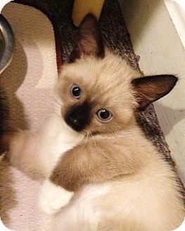 Siamese Kitten for adoption in N. Billerica, Massachusetts - Adobe
