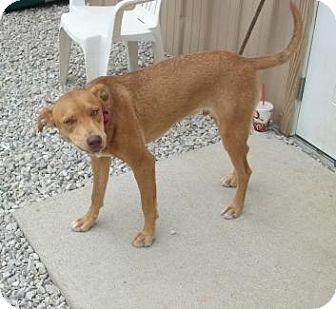 Labrador Retriever Dog for adoption in Newburgh, Indiana - hambone