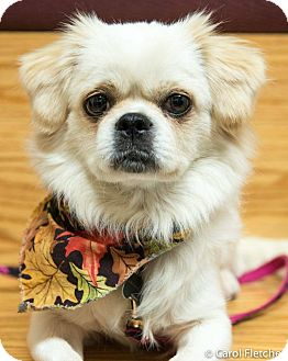 Pekingese/Japanese Chin Mix Dog for adoption in Portland, Maine - Sassafrass