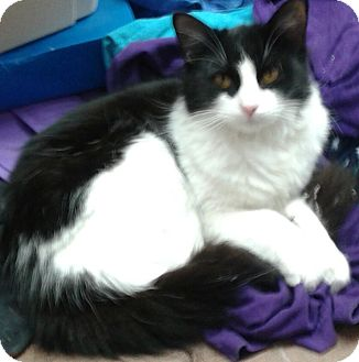 Domestic Mediumhair Cat for adoption in Whittier, California - Peyton