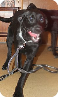 Labrador Retriever/Golden Retriever Mix Dog for adoption in Salem, Ohio - Miya