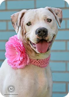American Staffordshire Terrier Mix Dog for adoption in St. Louis, Missouri - Crystal