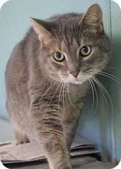 Domestic Shorthair Cat for adoption in Mt. Prospect, Illinois - Gumby