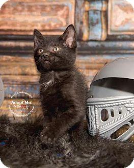 Domestic Shorthair Cat for adoption in Cincinnati, Ohio - Herenya
