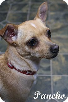 Chihuahua/Terrier (Unknown Type, Small) Mix Dog for adoption in Rockwall, Texas - Pancho