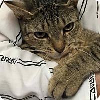 Adopt A Pet :: Vila - Extra Toes! - Trenton, NJ