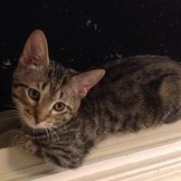 Domestic Shorthair/Domestic Shorthair Mix Cat for adoption in Anderson, Indiana - Watson