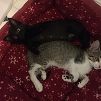 Domestic Shorthair Kitten for adoption in Los Angeles, California - Victor & Victoria