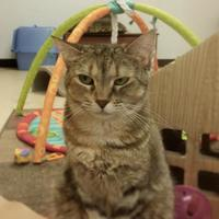 Adopt A Pet :: Cleopatra (Merritt Island Adoption Center) - Cocoa, FL