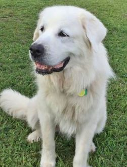 Great Pyrenees Mix Dog for adoption in Helena, Alabama - Snow