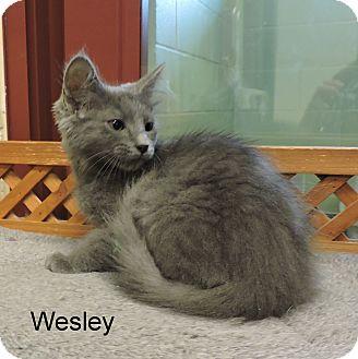 Domestic Shorthair Kitten for adoption in Slidell, Louisiana - Wesley