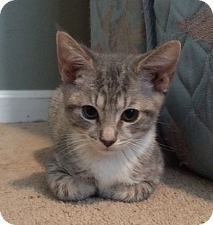 Domestic Shorthair Kitten for adoption in Nashville, Tennessee - Shadow