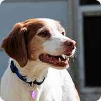Brittany Dog for adoption in Seattle, Washington - CO/WY/Molly