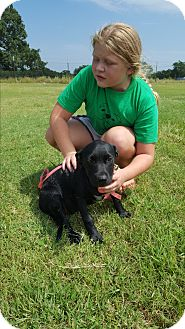 Pit Bull Terrier/Blue Heeler Mix Puppy for adoption in Weatherford, Texas - Krystal